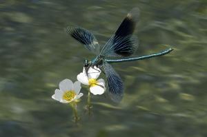 Landung Prachtlibelle