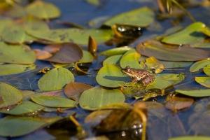 Der Frosch_1